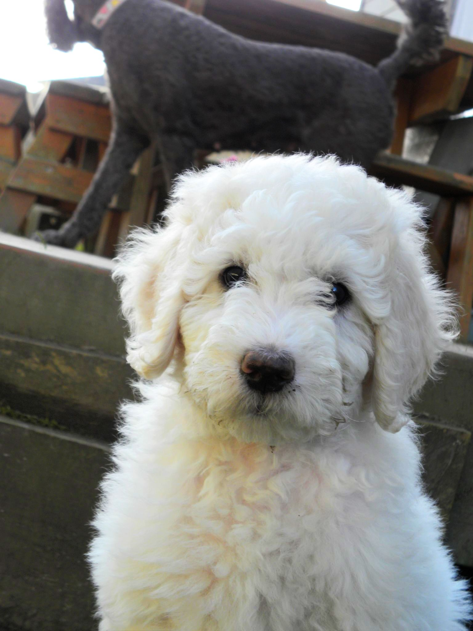 Differences Between Male And Female Puppies Aussiedoodle
