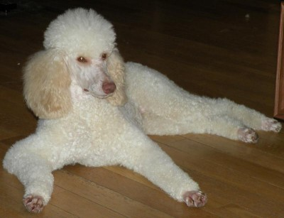 MJ - Molly's Mommy - Moyen Poodle from themoyenpoodle.com