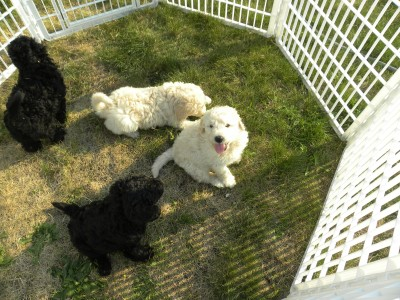 F1b Goldendoodle Puppies - 2011 Litter