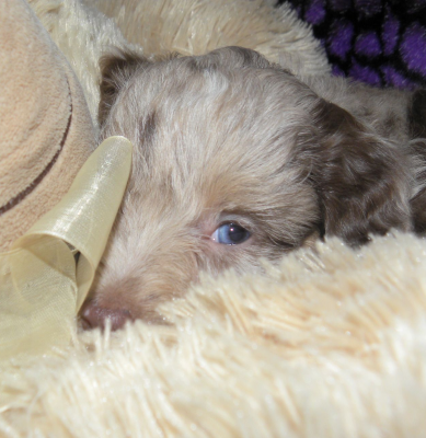 Red Ribbon Merle Aussiedoodle Female  SOLD