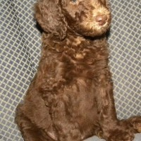 Red Girl - F1b Labradoodle