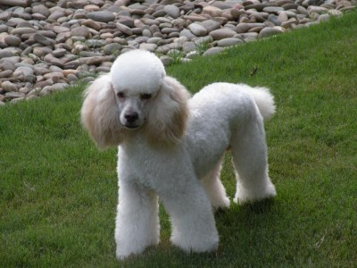 Romeo - Molly's Daddy - Moyen Poodle from themoyenpoodle.com
