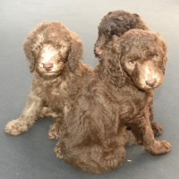 Blue Boy, Red Girl and Purple Girl - F1b Labradoodles - Available