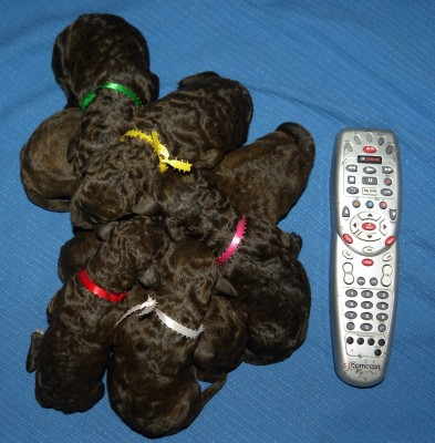 F1b Labradoodle Puppy Pile - 24 hours old